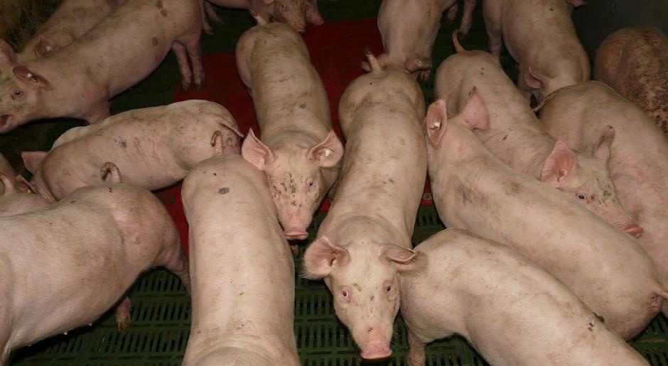 Włochy: Mniejsze pogłowie świń