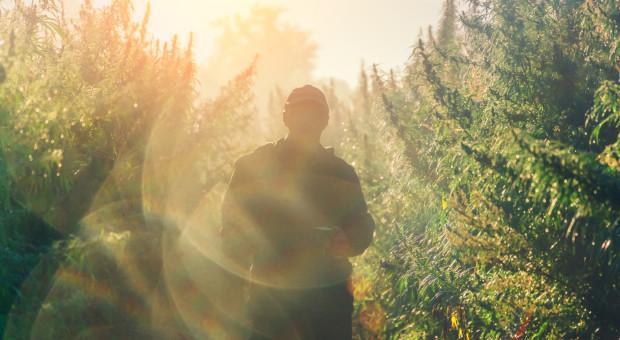 Policja zlikwidowała leśną plantację marihuany