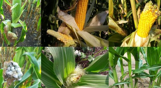 Sezon pełen anomalii w kukurydzy