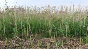 Wybujały skrzyp zdaniem farmera mógł w dużym stopniu ograniczyć plonowanie rzepaku, poprzez wykorzystanie wody oraz składników pokarmowych