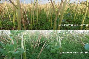 Zdjęcie porównawcze ściernisk po obu plantacjach. Dwa tygodnie po zbiorze na polu UP w międzyrzędziach znajdziemy jedynie samosiewy rzepaku. Na plantacji UO ( ważne, żeby to zdjęcie nie zostało obcięte podczas wstawiania)