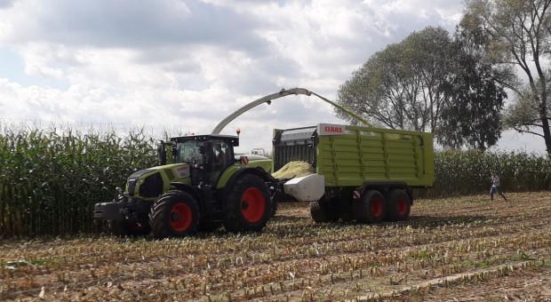Rekord Polski: Niemal 80 ton zielonej masy kukurydzy z ha