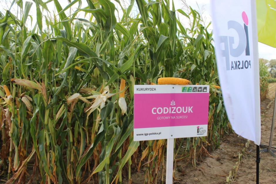 Kolby oraz same rośliny odmiany Codizouk prezentowały się bardzo dobrze fot. Mateusz Stachowiak