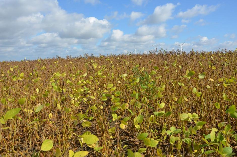 Pole gdzie testowano wpływ systemu siewu i nawożenia na plonowanie soi - odmiana SG Anser, fot. M. Tyszka