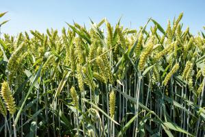 Najplenniejsze odmiany pszenicy ozimej