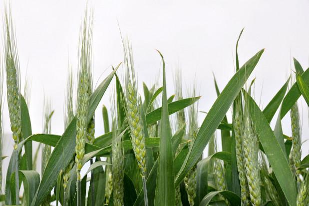 Siarka podwyższa jakość ziarna pszenicy