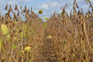 Trudne odchwaszczanie soi – przetestowano warianty ochrony