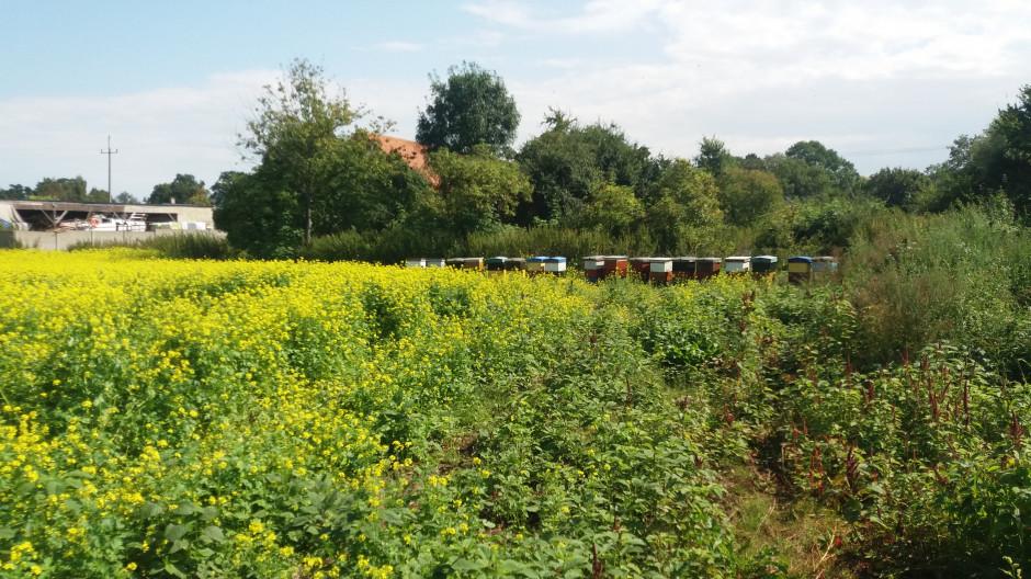 Gorczyca biała jest dobrą roślina miododajną, którą pszczoły oblatują bardzo chętnie, dlatego rolnik rozstawił ule na obrzeżu pola.