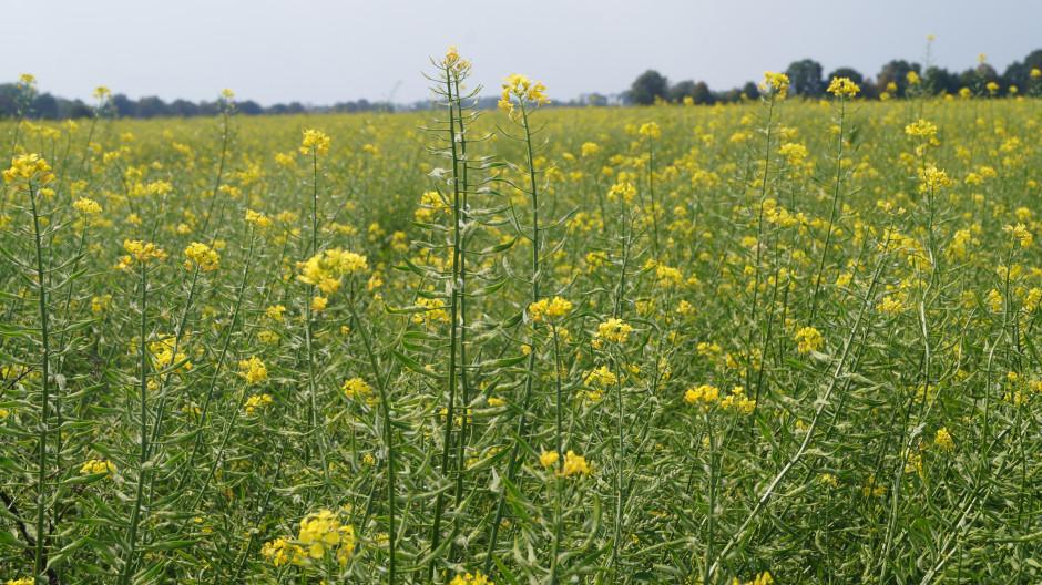 Ok.15 września rolnik planuje desykację łanu a następnie zbiór nasion. Stan na .09.19.