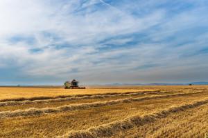 Rosja: Do 9 września zebrano ponad 90 mln ton zbóż i bobowatych