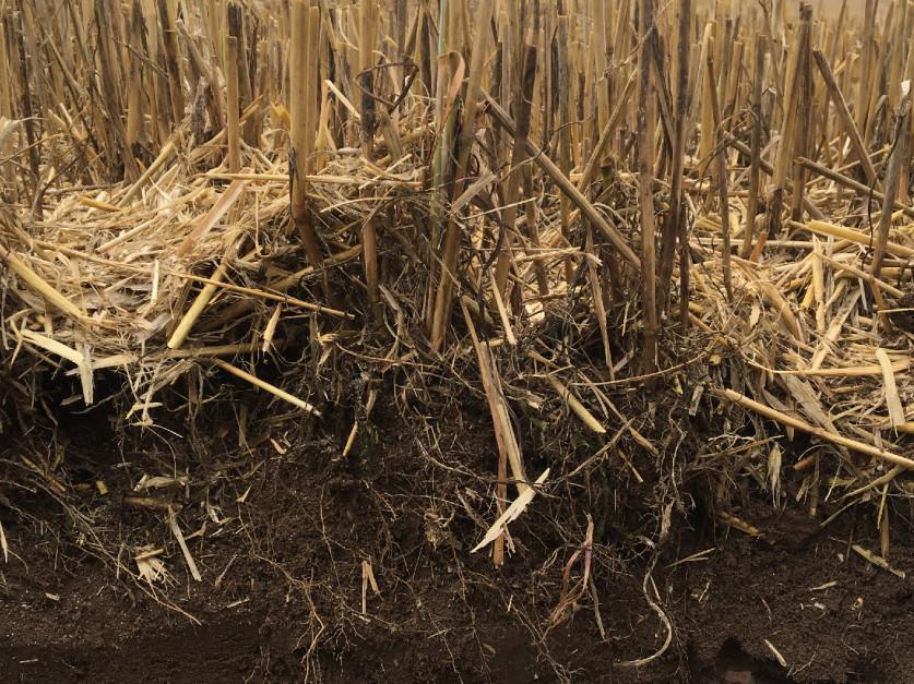 Wykonanie prostej odkrywki glebowej pozwala w szybko stwierdzić czy metody uprawy jakie stosuje się na danym polu sprzyjają czy też nie rozkładowi słomy. Obecność starej słomy po blisko roku od przyorania powinno być już sygnałem do zmiany myślenia.