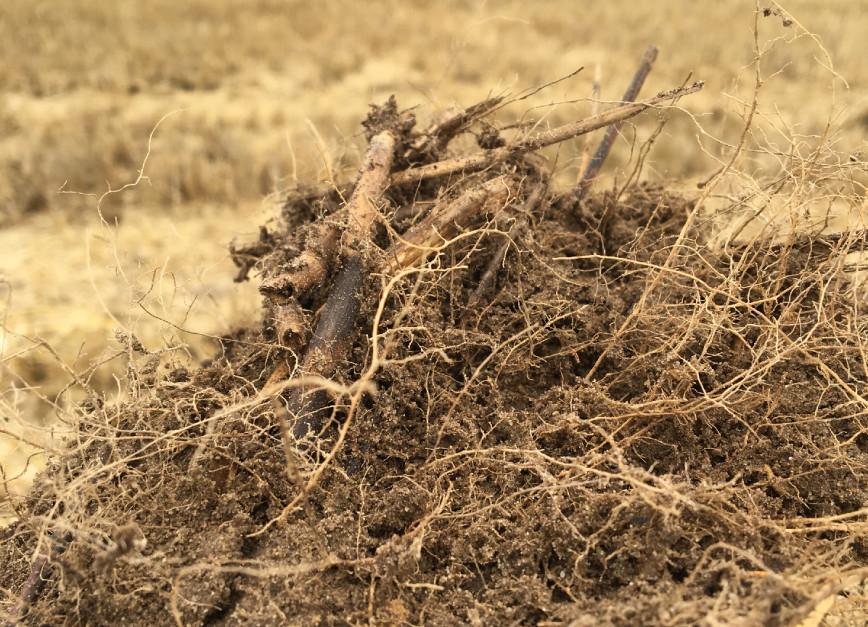 Gleba silnie powiązana korzeniami sama w sobie wcale nie musi być uprawiana. Głównym kryterium jaki należy wziąć pod uwagę jest ograniczenie presji chwastów, w tym samosiewów. Wszelkie inne przesłanki, takie jak przerwanie parowania kapilarnego są tak naprawdę bez znaczenia. W tym przypadku znowu nabiera prawidłowo skonstruowane zmianowanie, gdyż pozwala ono także na skutek agrotechniczny walczyć ze zmianowaniem.