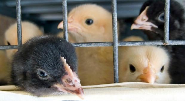 1,4 miliona osób za zakazem utrzymywania zwierząt w klatkach
