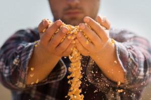 Cena zbóż ponownie się obniżyła – kukurydzy również