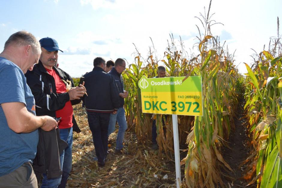 Odmiana prezentowana na Zielonych Polach kukurydzy w Wielkopolsce; Fot. Katarzyna Szulc