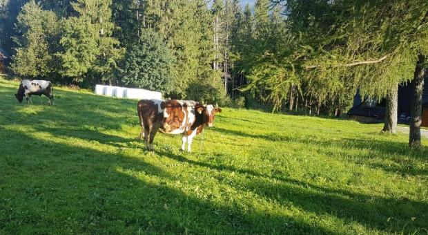 Na Gubałówce krowa zraniła dziecko