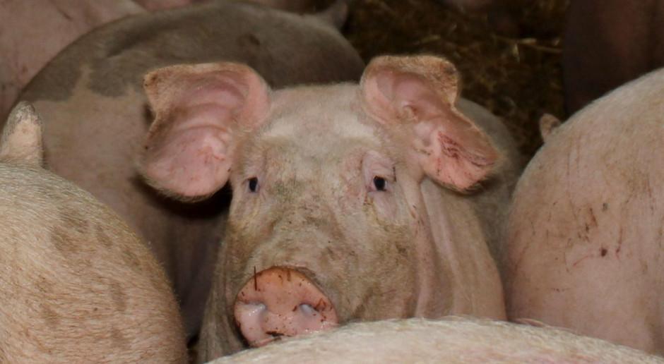 Świnie wpadły do kanału na gnojowicę