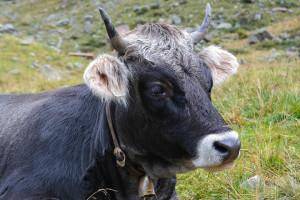 GUS: Przybywa bydła, ubywa świń