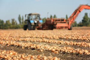 Zbiory warzyw przyczynią się do wyhamowania wzrostu cen żywności