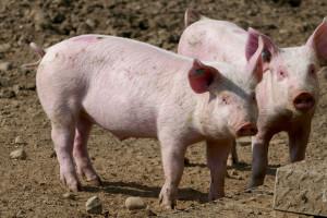 UE: Ceny świń rzeźnych – stabilizacja trwa