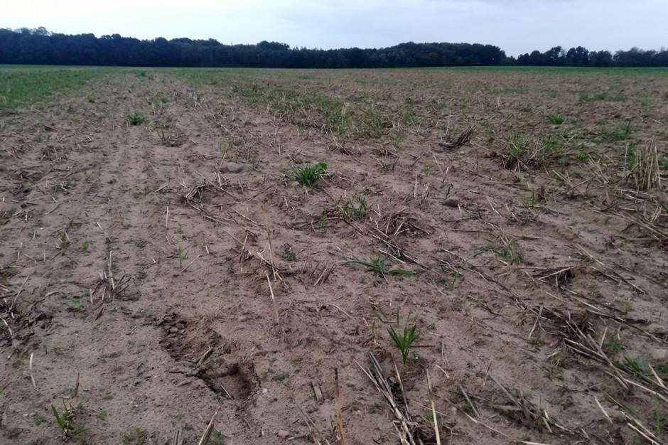 Fragement plantacji rzepaku, uprawianego w sytemie uproszczonym, zniszczony całokowicie przez rolnice. Fot. A. Kobus