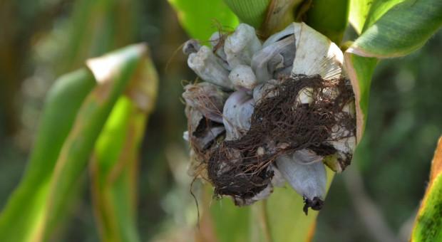 Kukurydza ziarnowa jest już zbierana – problem z głownią