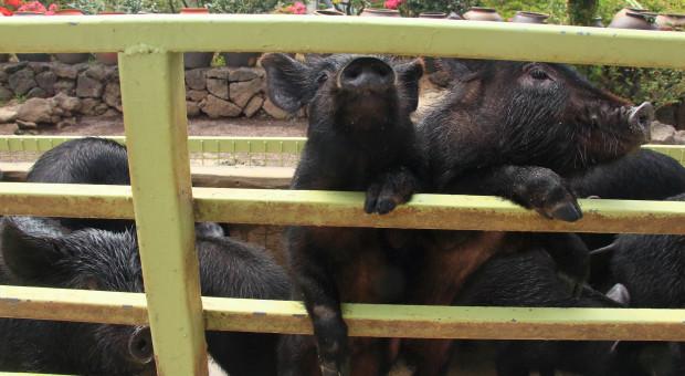 Wietnam: zlikwidowano blisko 6 milionów świń