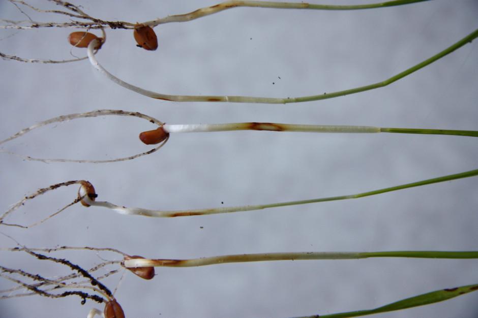 Obecność pleśni śniegowej na młodych siewkach zbóż trudno wizualnie zdiagnozować na jesieni. Wczesne objawy zazwyczaj nie są zauważane przez producenta rolnego