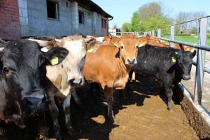 W skupach bydła niewielkie spadki cen