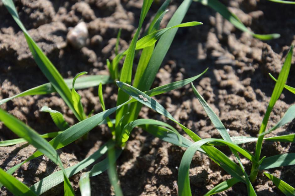 Pierwsze objawy mącznika prawdziwego zbóż i traw