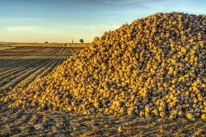 Ukraina: Rozpoczęto zbiór buraków cukrowych