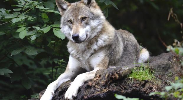 Likwidacji ochrony wilka nie będzie