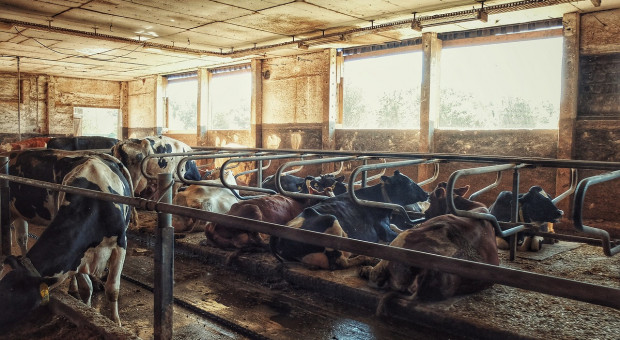 Litewscy rolnicy sprzedają krowy do Polski