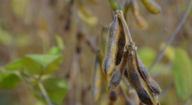 Po ile soja? – ceny skupu