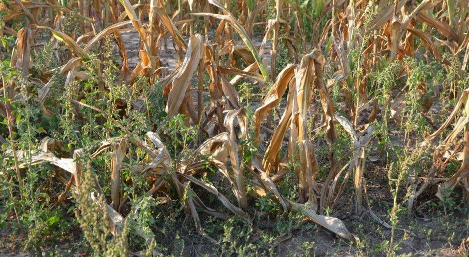 PZPK: Do 100 tys. ha kukurydzy ziarnowej zebrano na kiszonkę