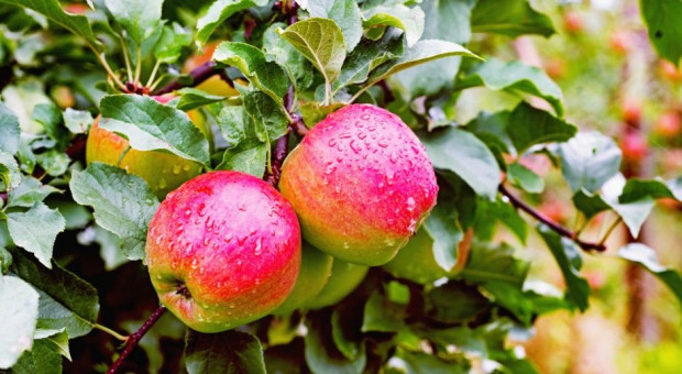 Delgate - nowy produkt do ochrony jabłoni i grusz