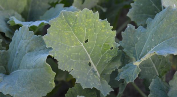 Pora na jesienny zabieg ochrony insektycydem w rzepaku