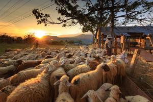 Niemcy: Wymagana premia za wypas zwierząt