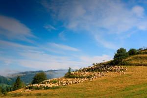 Bieszczady: pogoda sprzyja wypasowi owiec; udany sezon dla hodowców
