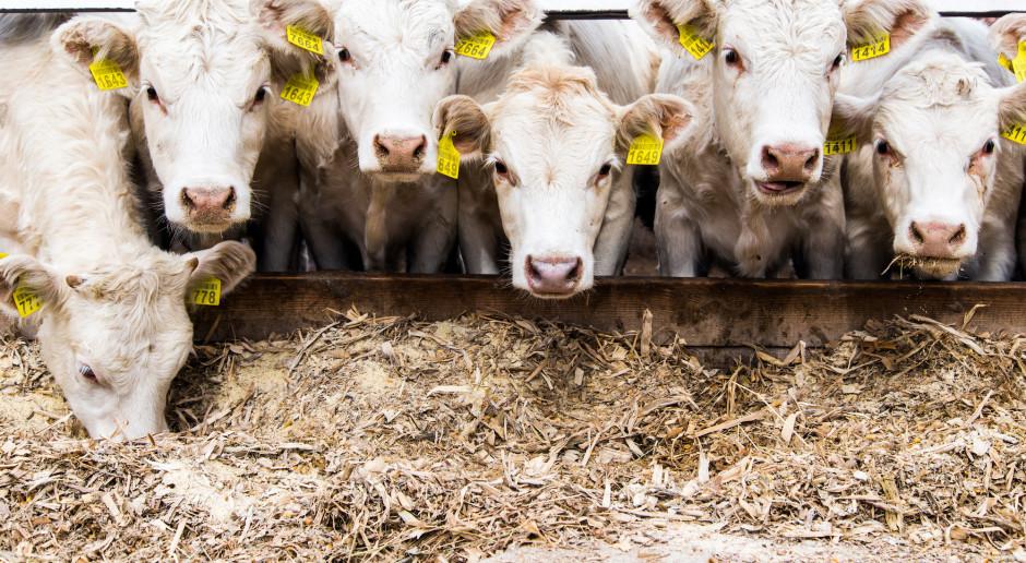 Holandia: rząd chce, by krowy dostawały karmę obniżającą zawartość azotu