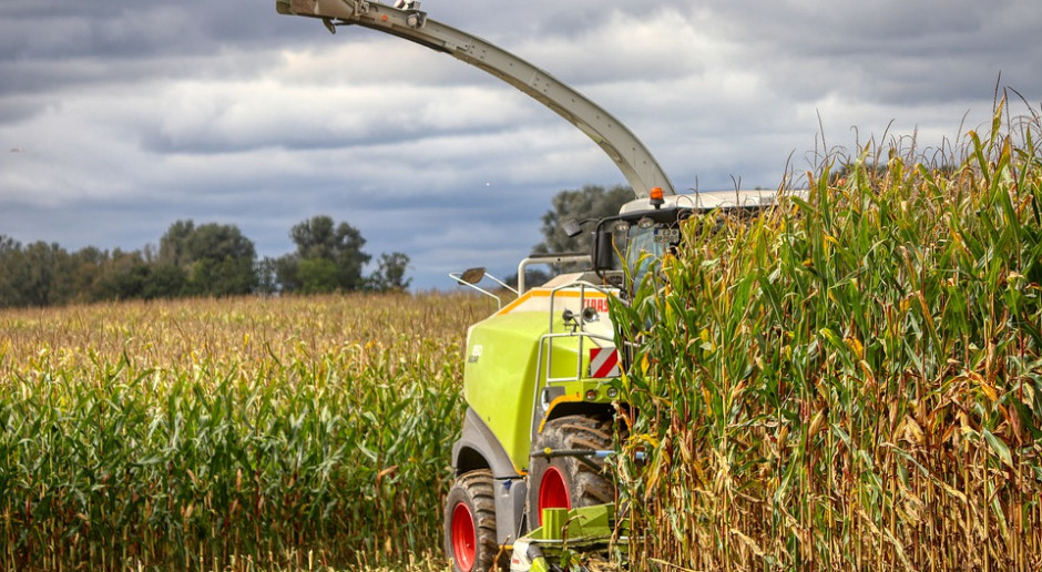 UE: Trudny rok dla kukurydzy