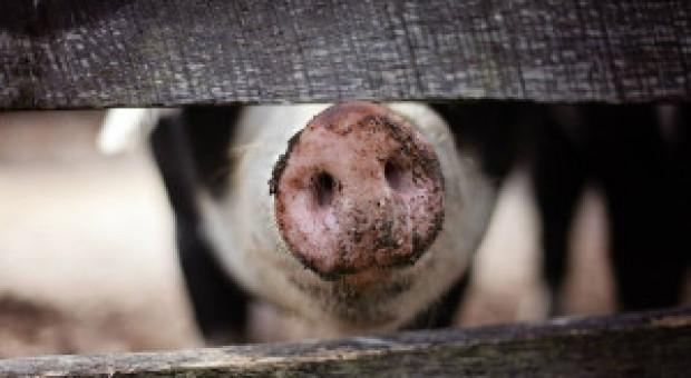 UE: Mniej świń mimo wysokich cen