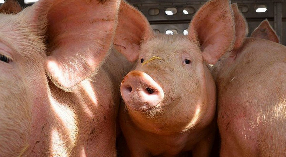 Świnie zjadały ofiary gangstera