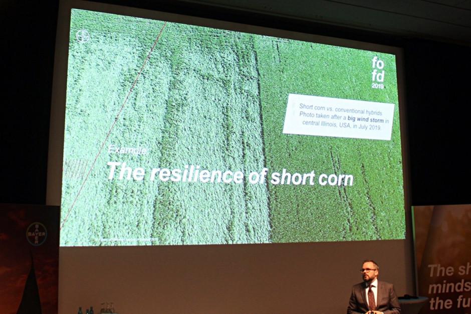 Zdjęcie przedstawia karłową kukurydza (po prawej) kontra powylegany tradycyjny mieszaniec, po tym jak przez centralną część stanu Illinois w lipcu przeszedł huragan Fot. A.Kobus