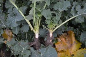 Z lewej roślina bez regulacji, obok po zastosowaniu regulatora wzrostu; Fot. Katarzyna Szulc