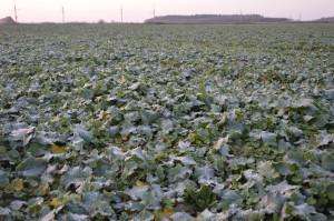 Krępe rośliny rzepaku, z płaską rozetą liściową lepiej znoszą warunki zimowe; Fot. Katarzyna Szulc