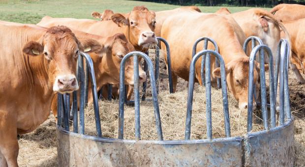 Pasze alternatywne w żywieniu bydła opasowego