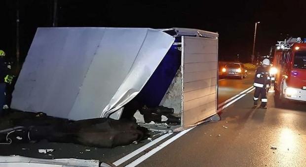 Wywróciła się ciężarówka z bydłem