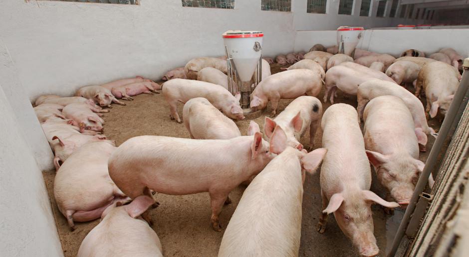 Jak ograniczyć wpływ upałów na spadek tempa wzrostu świń?