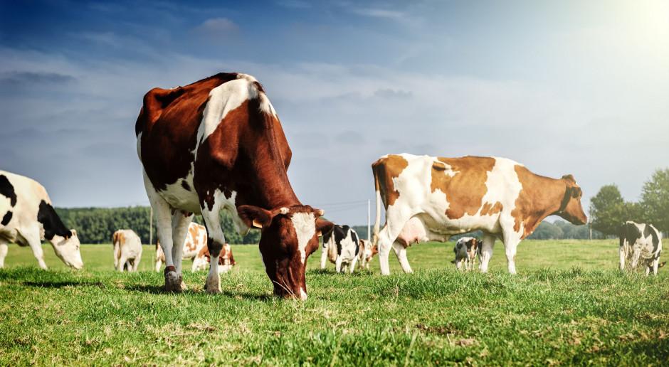 Bydła – do dopłat - mamy dostatek…
